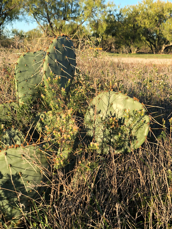 Cactus in Texas