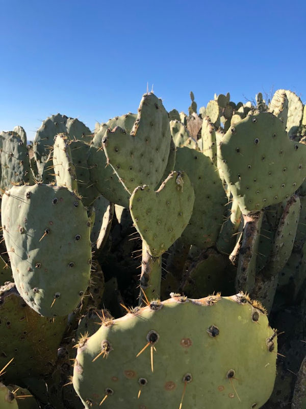 Prickly Pear Cactus love.