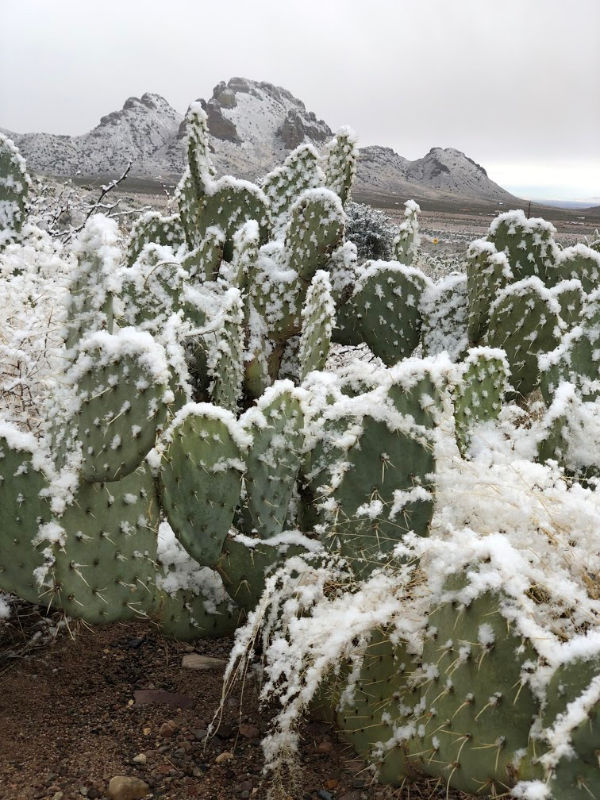 Snowy Prickly Pear Cactus on the morning of February 19th.